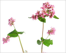 Buckwheat Leaves/Flower